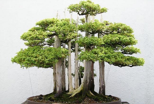 Самые изумительные деревья бонсай